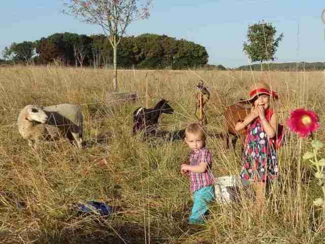 chèvres et brebis dans la prairie