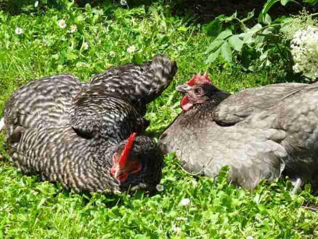 repos des poules grises dans le jardin