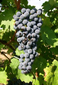 Raisin correspondant à Cabernet d'Anjou rosé
