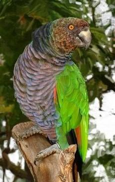 Amazona imperalis (Sisserou Parrot)