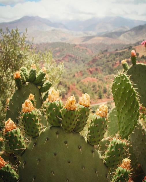 atlas mountains cactus flowers morocco