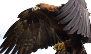 Captive Golden Eagle (Aquila chrysaetos) in flight in the United Kingdom
