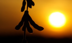 United Soybean Board, Soybean Pods at Sunset (CC BY 2.0)