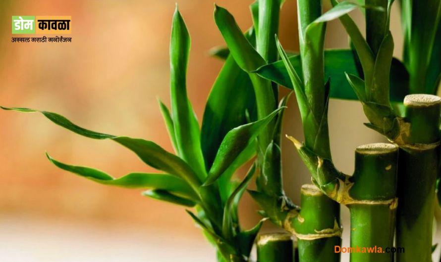 Indoor Plants Grow in Water पाण्यामध्ये सहज उगवणारे 5 रोपटे