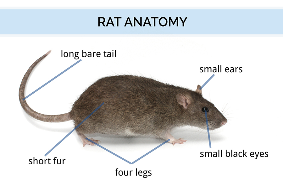 male mouse anatomy diagram make a all about rats | types of rats, locations, and history rat facts & more