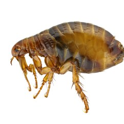 Can Dog Fleas Live In Sofas Sectional With Sleeper Sofa How To Get Rid Of Diy Flea Control Products Do