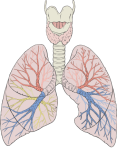 Diagram showing 3 lobes in the right Lung and 2 lobes in the Left Lung. The black curves are fissures which separate the lobes. If there is a defect in a fissure, putting in a valve into one breathing tube will not collapse the desired part of the lung.