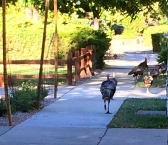 Wild Turkeys checking the neighborhood out.