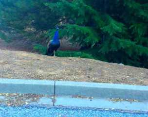 I found a peacock on Peacock Court.