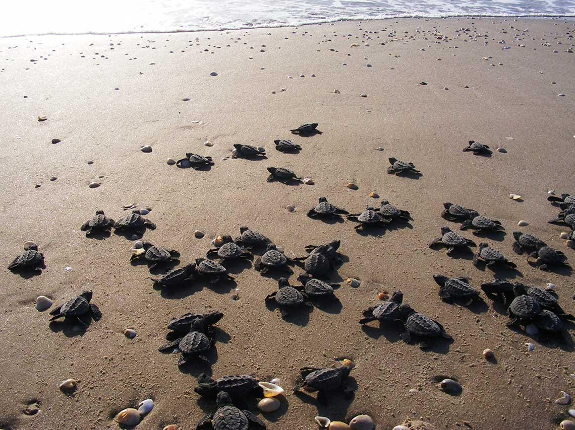 Tortugas caminando con rumbo al mar en Tecolutla, Veracruz