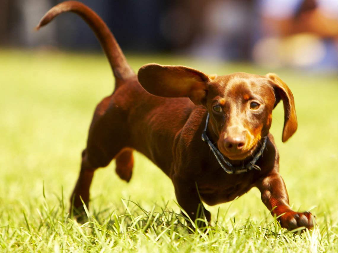 Día Nacional del Perro Salchicha