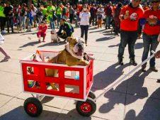 desfile-alegorico-de-bulldogs-en-reforma-cdmx-01