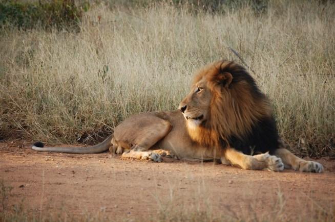 León descansando (Safaris en África)