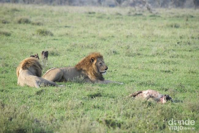 Los leones reposando junto a su presa