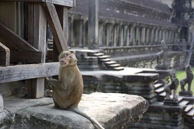 Mono en templo Angkor Wat