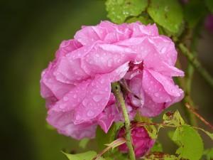 Rose pluie - image gratuite