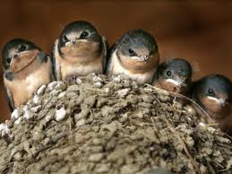 A brood of swallows