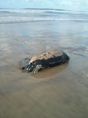 The remains of the turtle washed up at Magheroarty