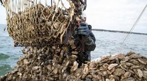 9a-Oyster-Harvest-CNS_web-600x330