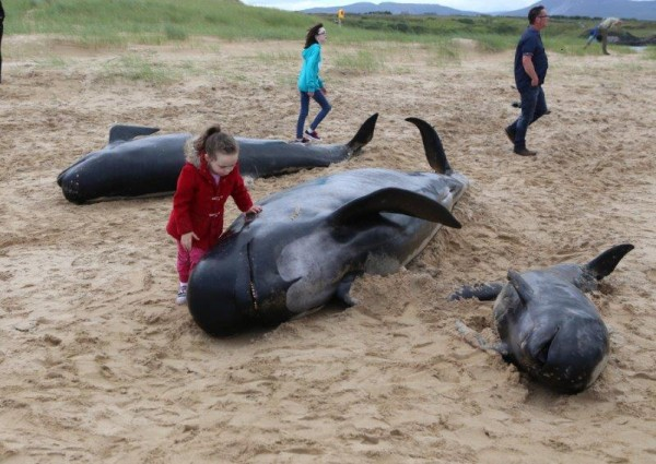 This little girl tries her best to help the stricken whale back out to sea. Pic copyright nwnewspix.