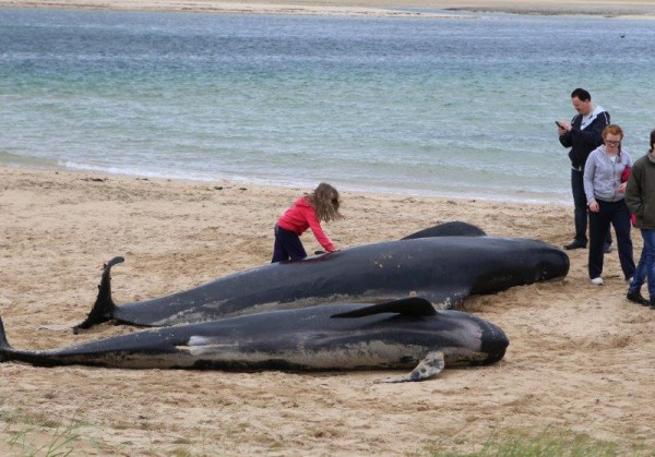 Another little girl attempts to save the poor Pilot Whales stranded on Ballyness Bay, Falcarragh, Pic copyright nwnewspix