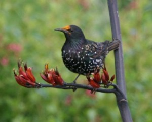 A Starling with an orange headed from being 'pollinated'! Pic by Liam Ryan.