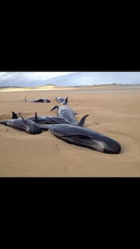 The stranded Pilot Whales