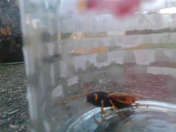 The hornet found yesterday in Carndonagh.