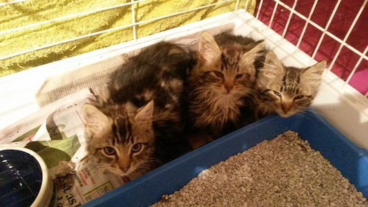 The three kittens which were abandoned in Donegal Town.