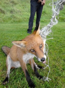 The frightened fox just seconds before it was released from the football net at Errigal College.