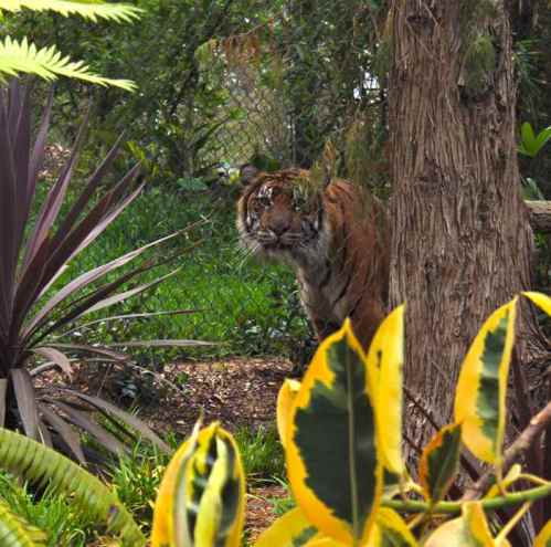 tiger-jungle-safari-park-tiger-trail