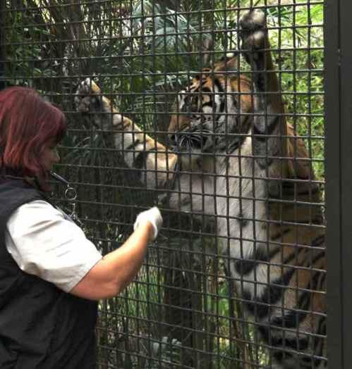 tiger-training-safari-park