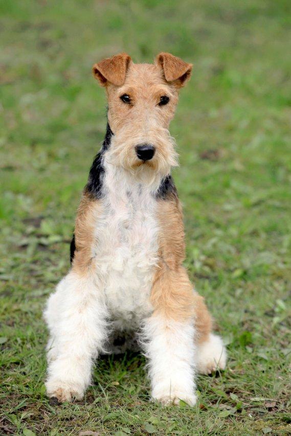 Fox Terrier a pelo liscio  Terrier  DonnaD