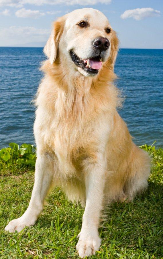 Labrador Retriever  Cani da Caccia  DonnaD