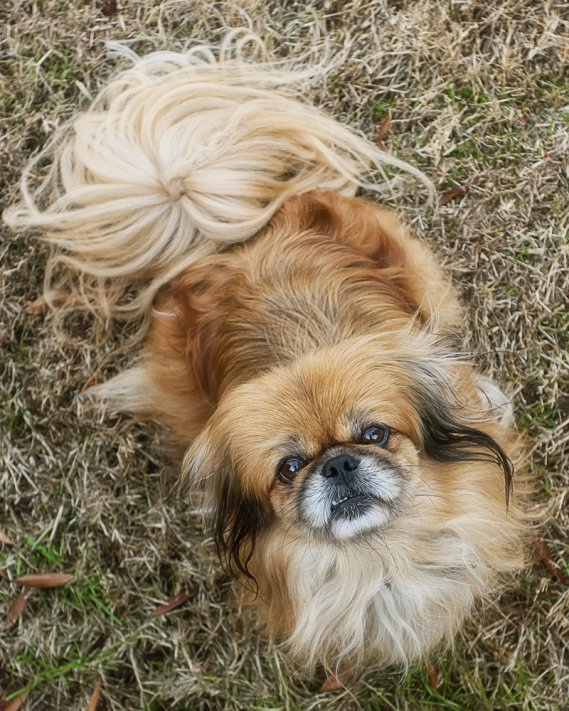 Pechinese  Cani da grembo  DonnaD