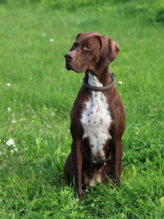 Pointer inglese  Cani da Caccia  DonnaD