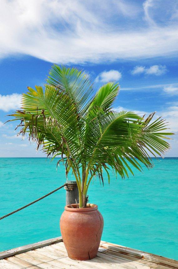 Palma da cocco  Cocos Nucifera fam Palmae  DonnaD