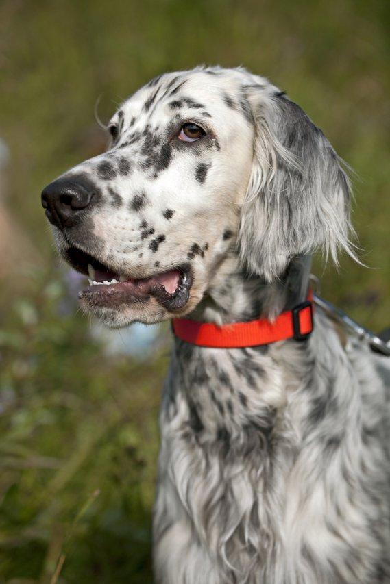 Setter inglese  Cani da Caccia  DonnaD