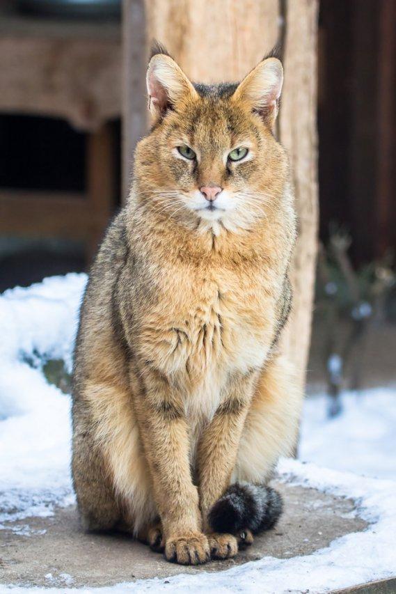 Gatti ibridi dal fascino esotico  DonnaD