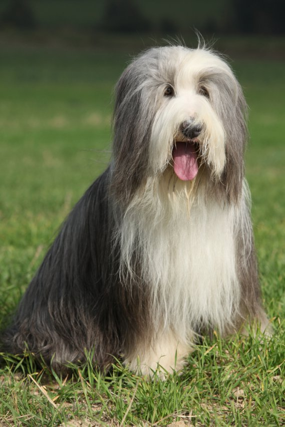 Bearded Collie  Cani da pastore  DonnaD