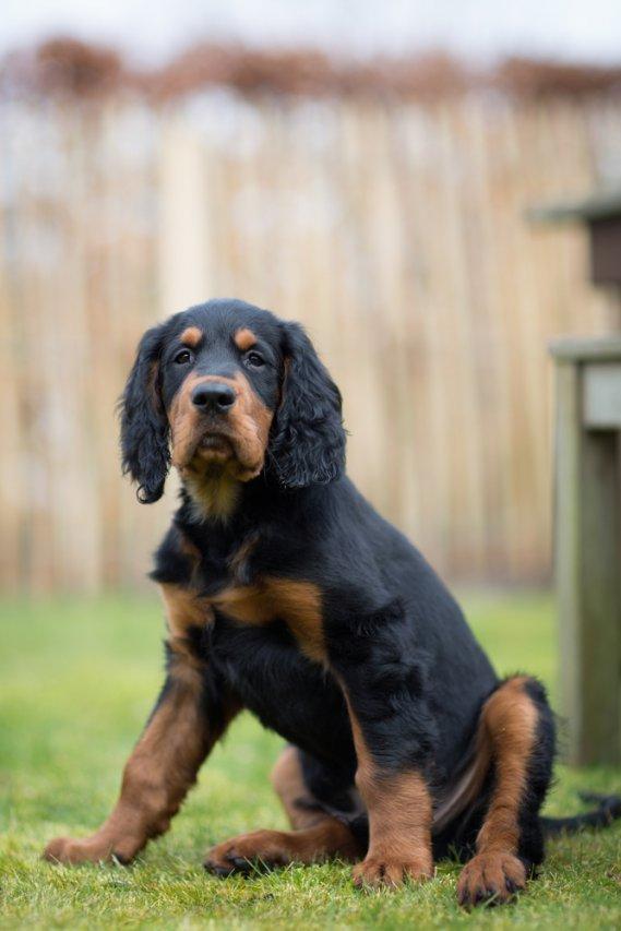 Setter Gordon  Cani da Caccia  DonnaD