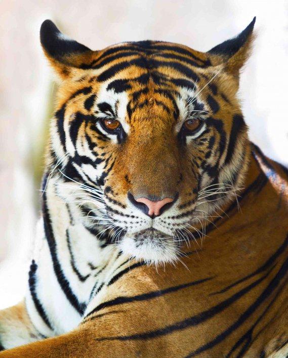 Oroscopo cinese la tigre  DonnaD