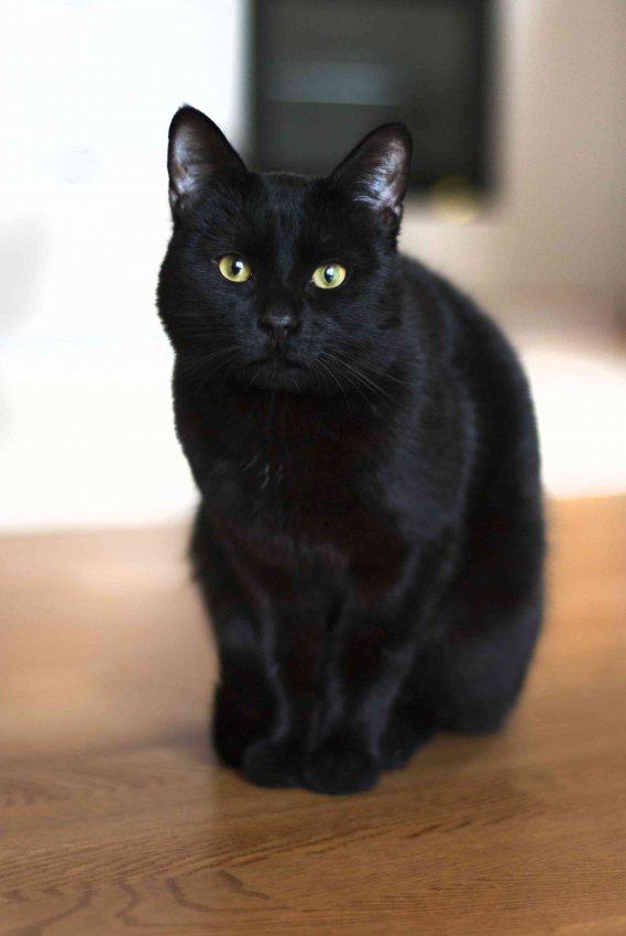 Sognare dei gatti neri significato  DonnaD