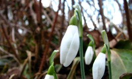 Imbolc and the first signs of spring