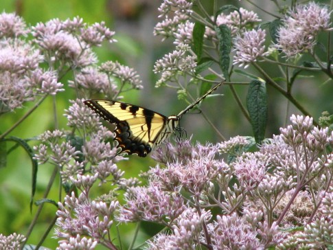 Eastern Tiger Swallowtail (Papilio glaucus) in Joe-Pye Weed in my garden. Photo by Donna L. Long.