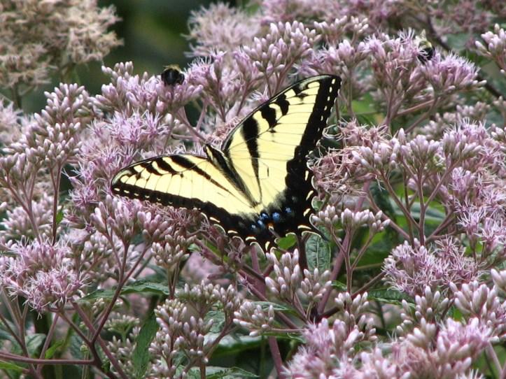 Tiger Swallowtail in Joe-Pye Weed