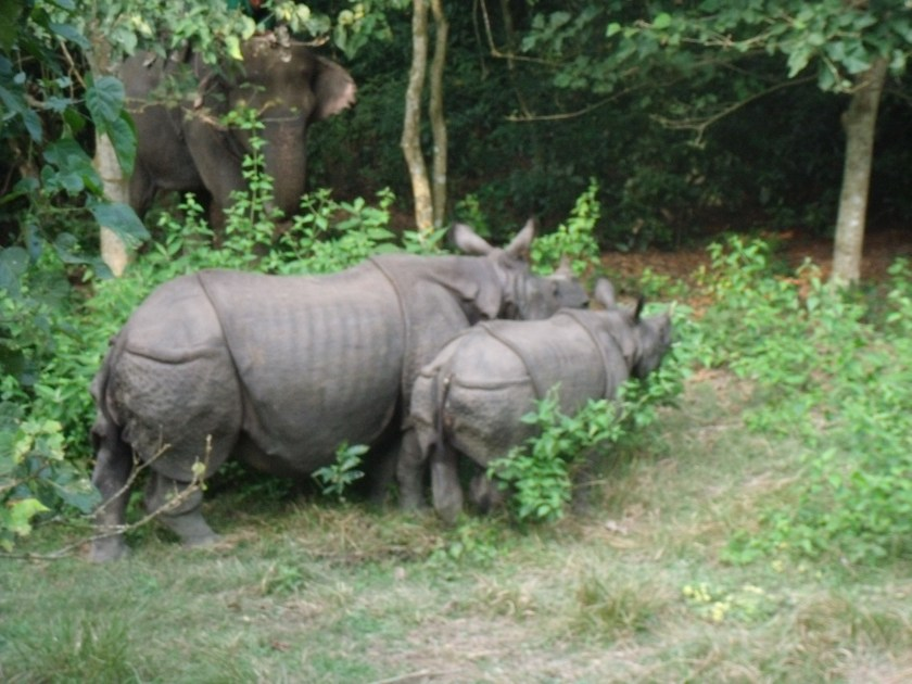 Art + Travel Adventure to Nepal - Chitwan Day 2 Mammy Rhino with her baby