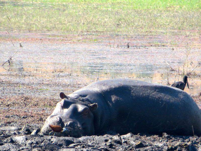 Hippo at Chobe National Park, Botswana