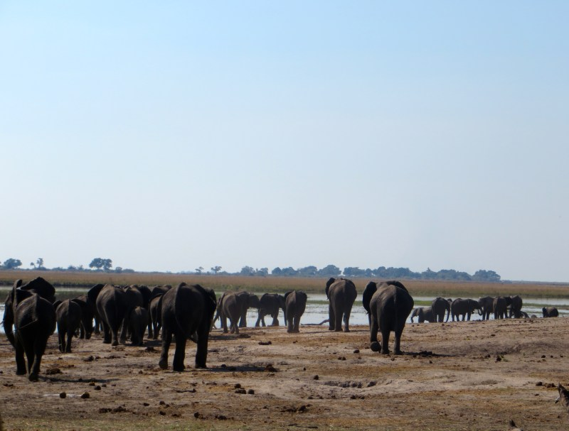 elephants at chobe national park, botswana