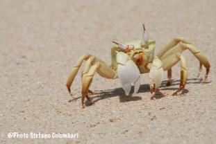 Horn-eyed ghost crab